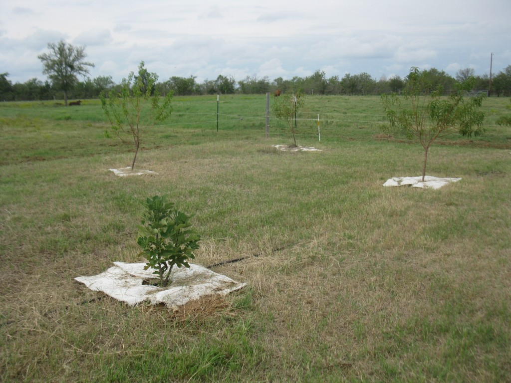 Young orchard with 1 and 2 year old trees.  Fig, Apricot, Peach shown here.