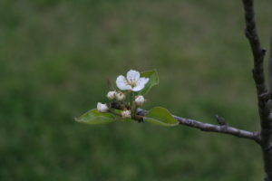 Tiny blossom on one of our pear trees