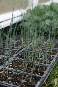 Leek transplants ready to be planted tomorrow