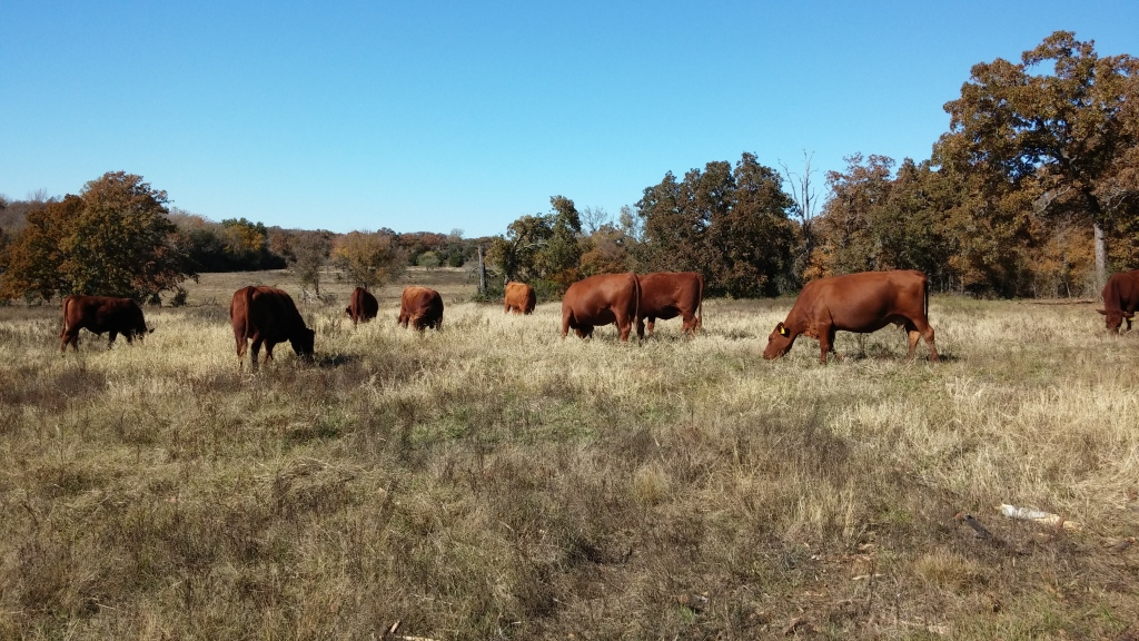 Our grass fed cattle graze during winter. During growing season, we're careful to reserve enough grass so they rarely need hay.