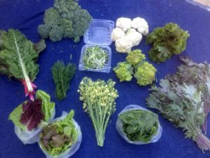 Spring Week 3 Full Share: broccoli, white and green cauliflower, lettuce, sunflower Microgreens, rainbow chard, kale, dill, mustard greens, broccoli flowers, spinach