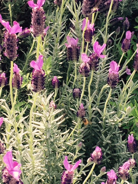 Bees enjoying our lavender.  So many wildflowers this spring should make for wonderful honey.