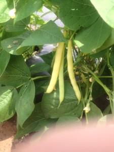 One of several green bean varieties