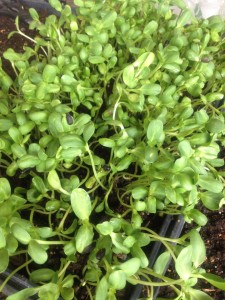 Sunflower Sprouts/Microgreens