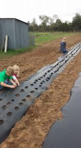 Planting Garlic at Blessing Falls Family Farm