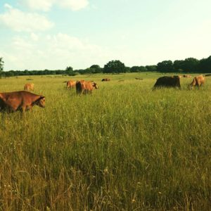 Grazing Fresh Pasture in Early Summer