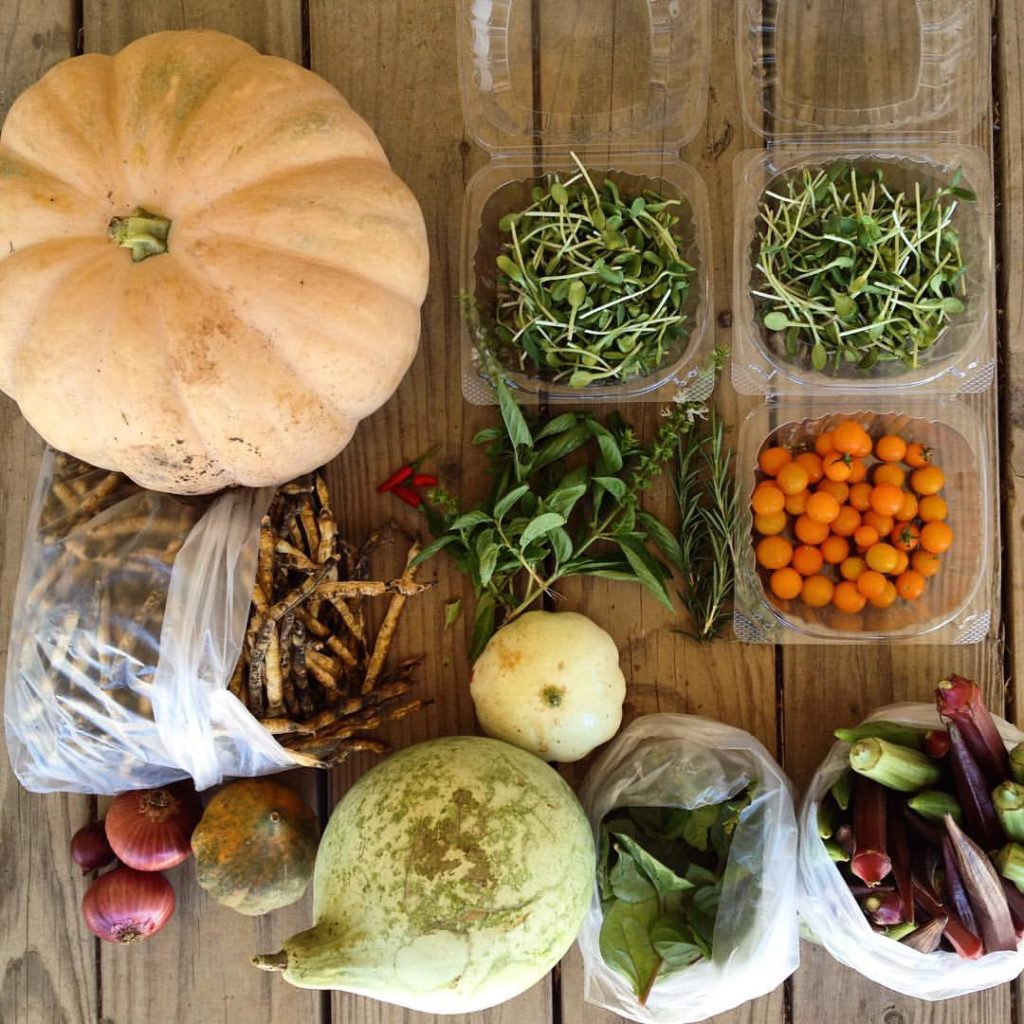 Blessing Falls - Farm Share Fall 2016 Week 3 (clockwise from top left) Pumpkin, sunflower sprouts, tomatoes, okra, Malabar spinach, melon, winter squash, onions, black eyed peas, squash, basil, Thai chilies, Rosemary