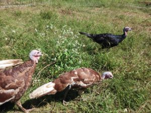 Bourbon Red and Spanish Black turkeys at Blessing Falls Farm
