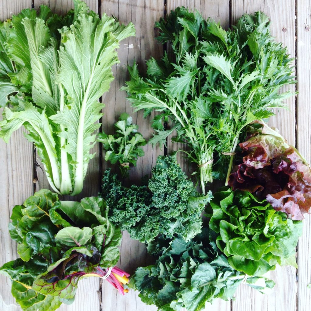 Blessing Falls Week 10 Fall Farm Share: Cabbage, mizuna, lettuce, broccoli greens, kale, Swiss chard, cilantro