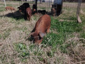 Pigs naturally raised on pasture at Blessing Falls