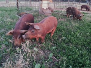 Red Wattle pigs at Blessing Falls Farm